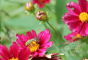 Coreopsis-Big-Bang-Mercury-Rising-with-bee-varied-red-blossoms-with-yellow-center-2-The-Zest-Quest