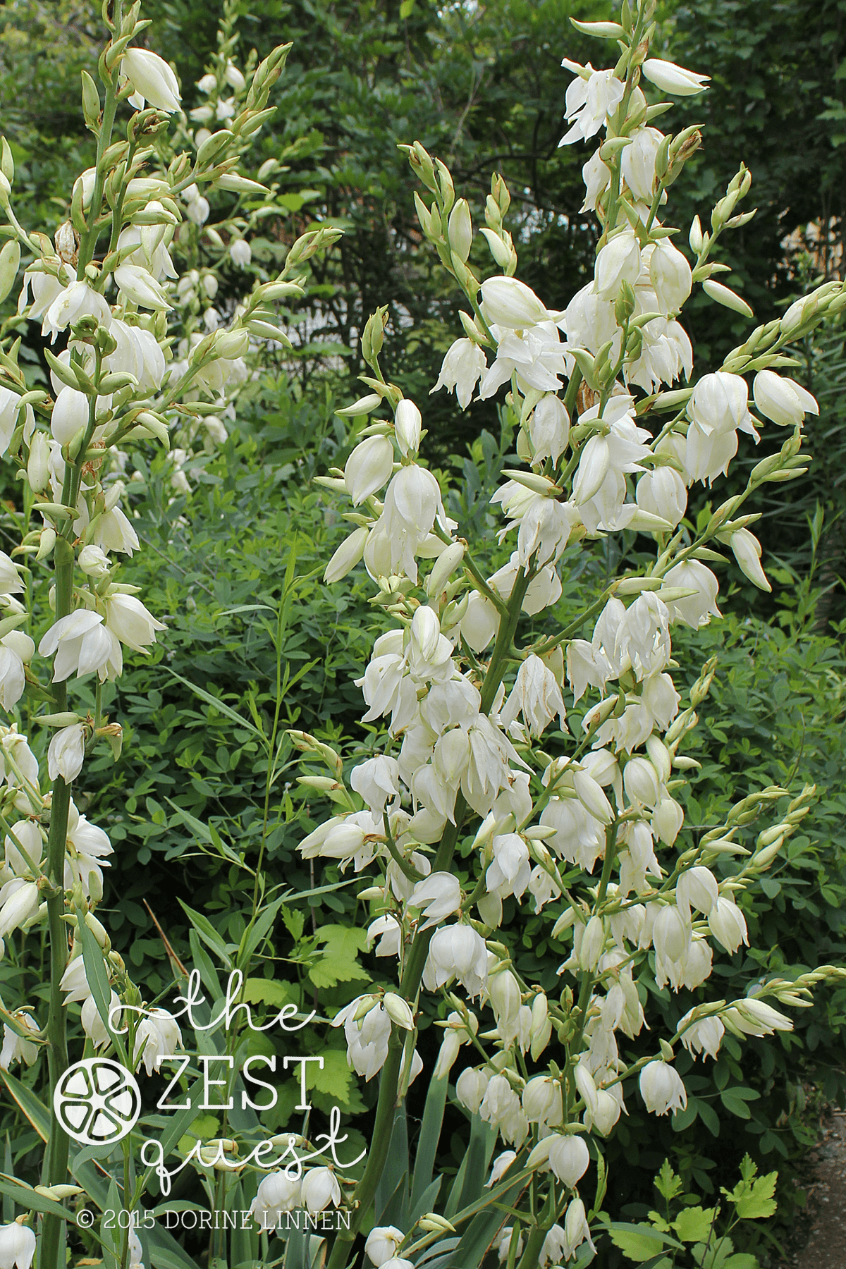 Tall White Flowers Of Yucca Stand Out In