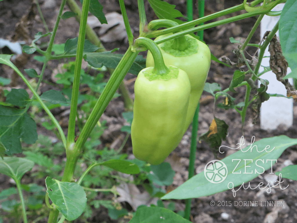 Pepper-Gypsy-Favorite-Producer-for-semi-shade-garden-NE-Ohio-2-The-Zest-Quest