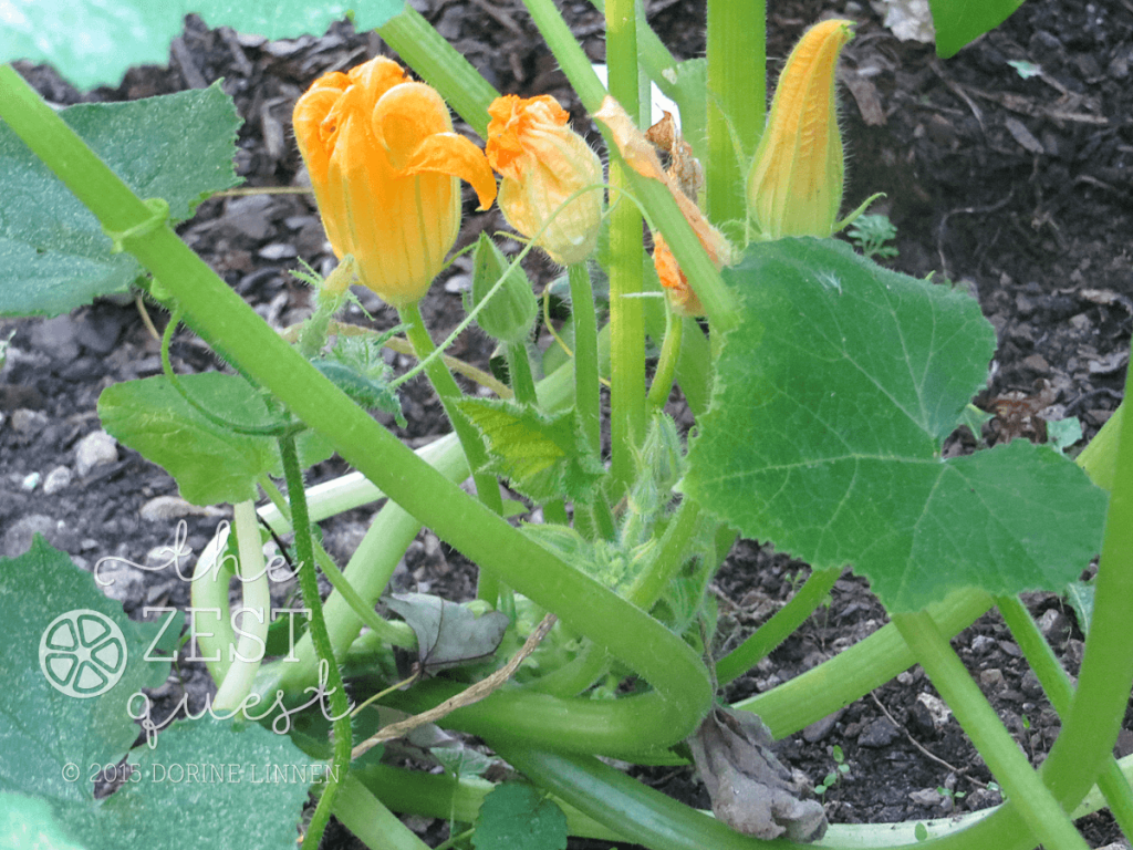 Squash-Yellow-flowers-well-but-no-fruit-in-semi-shade-garden-NE-Ohio-2-The-Zest-Quest