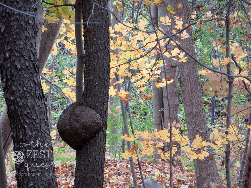 Hiking-Challenge-2015-Ohio-Hike-3-Richfield-Furnace-Run-Acorn-Shaped-growth-on-tree-2-The-Zest-Quest