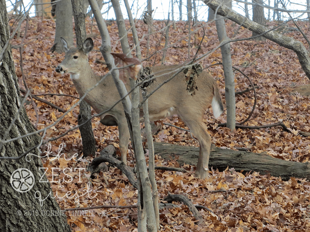 Hiking-Challenge-2015-Ohio-Hike-6-Deer-feeding-and-watching-us-on-the-trail-2-The-Zest-Quest