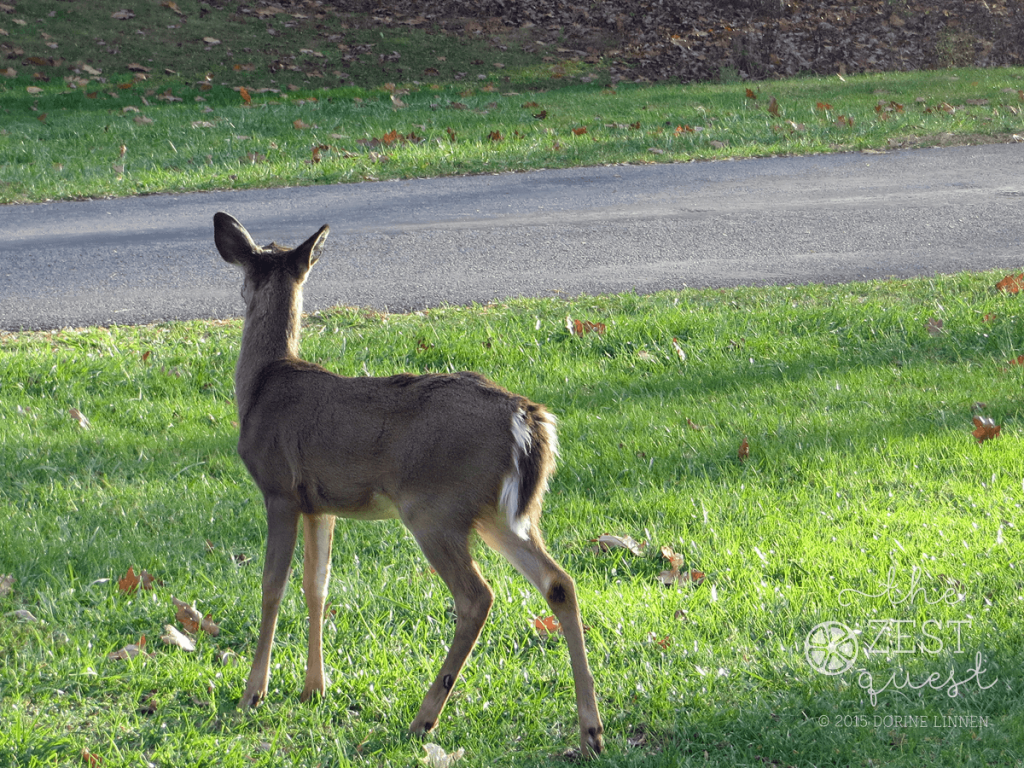 Pipestem-State-Resort-Park-Deer-alerts-to-click-of-the-camera-2-The-Zest-Quest