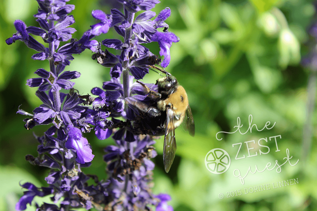 Cottage-Garden-Favorites-Mel-Sept-2015-Annual-Salvia-Mystic-Spires-Blue-pollinator-favorite-2-The-Zest-Quest