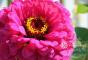 Cottage-Garden-Favorites-Mel-Sept-2015-Benary-Giant-Zinnia-2-The-Zest-Quest