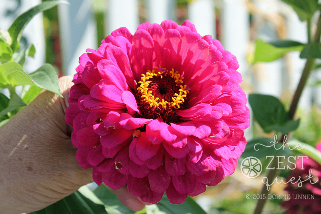 Cottage-Garden-Favorites-Mel-Sept-2015-Benary-Giant-Zinnia-fist-sized-spendor-2-The-Zest-Quest