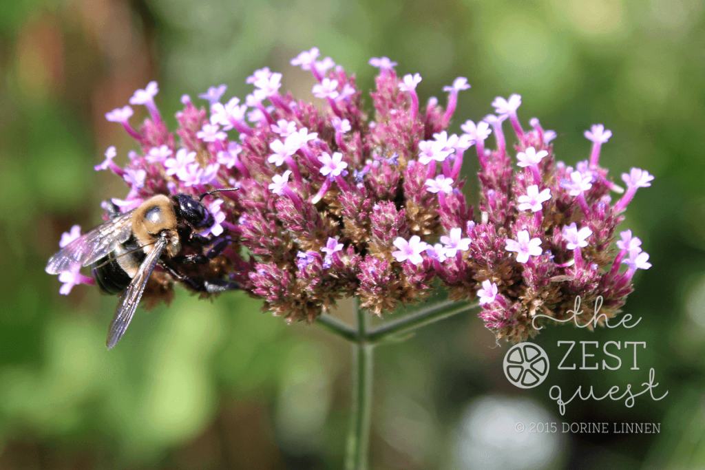 Cottage-Garden-Favorites-Mel-Sept-2015-Verbena-Bonariensis-one-of-my-favorites-2-The-Zest-Quest