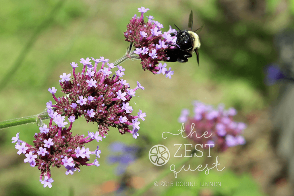 Cottage-Garden-Favorites-Mel-Sept-2015-Verbena-Bonariensis-selfseeds-2-The-Zest-Quest
