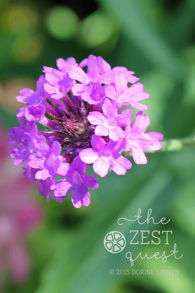 Cottage-Garden-Favorites-Mel-Sept-2015-Verbena-Rigida-2-The-Zest-Quest