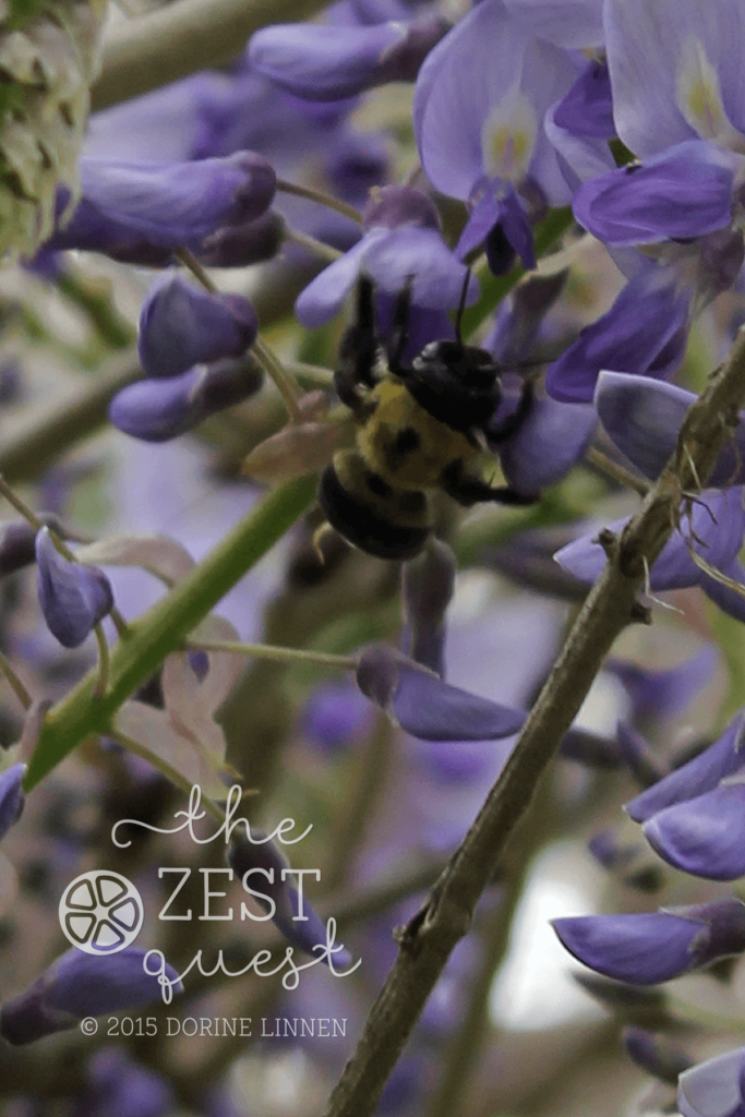 Wisteria-Bumble-Bee-frenzy-at-2-The-Zest-Quest