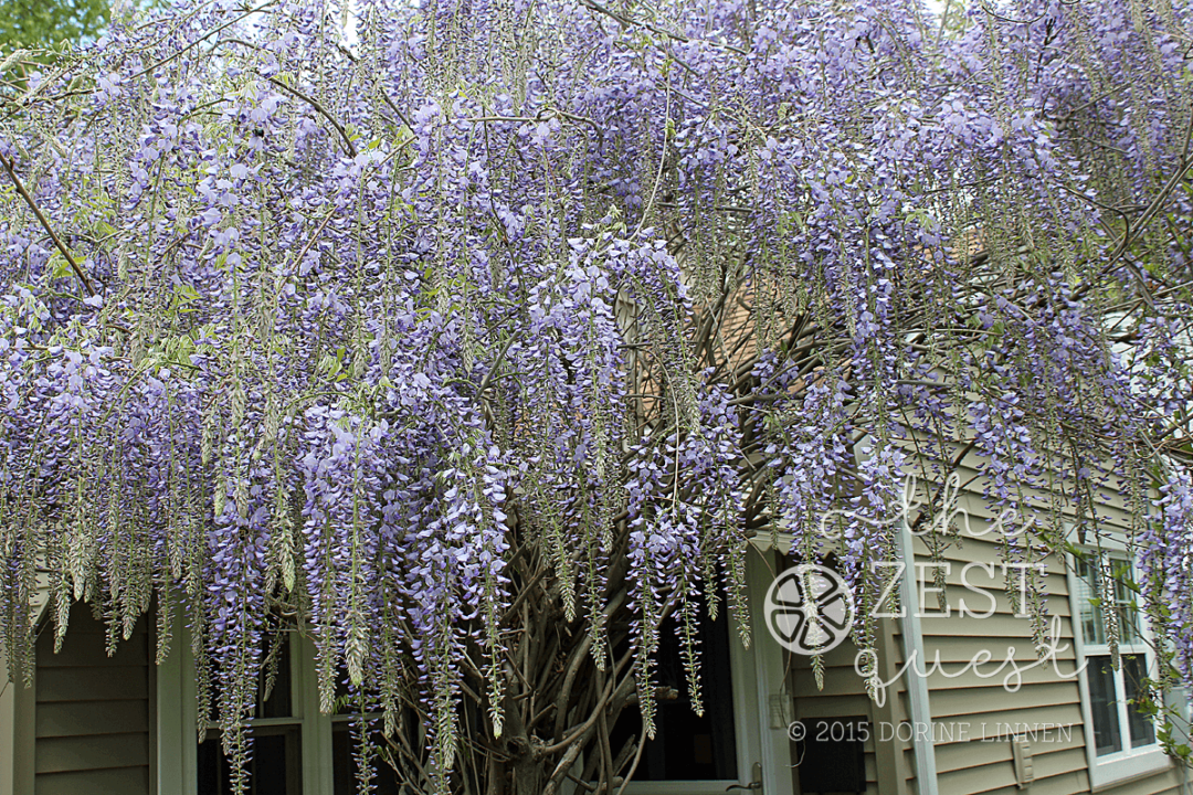 Wisteria-Hysteria-exuberant-racemes-go-on-and-on-like-purple-rain-2-The-Zest-Quest