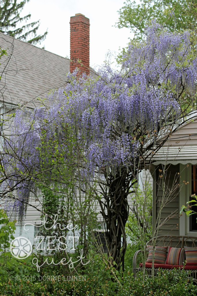 Wisteria-Hysteria-the-vine-that-makes-a-racket-in-the-spring-2-The-Zest-Quest