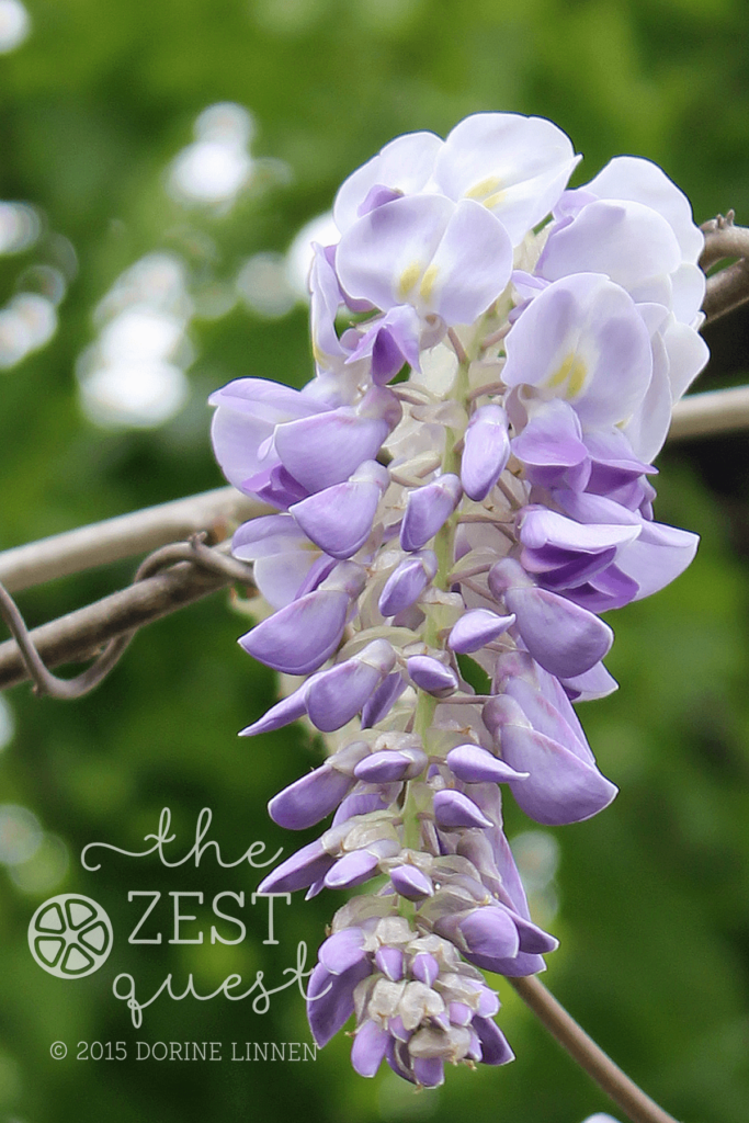 Wisteria-Tree-in-full-bloom-in-May-is-softer-and-fluffier-with-shorter-racemes-than-the-vine-2-The-Zest-Quest