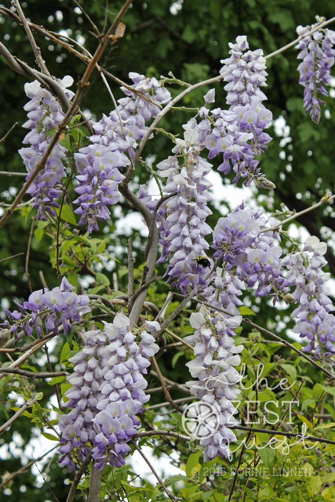 Wisteria-Tree-in-full-bloom-is-shaped-different-than-the-Wisteria-Vine-2-The-Zest-Quest