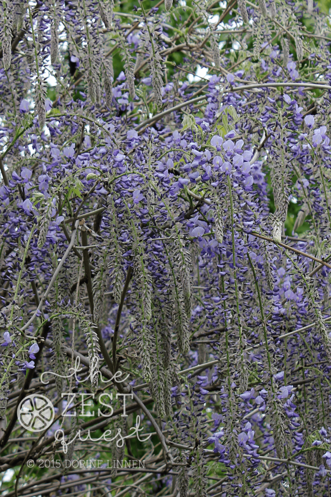 Wisteria-just-starting-its-bloom-in-May-at-2-The-Zest-Quest
