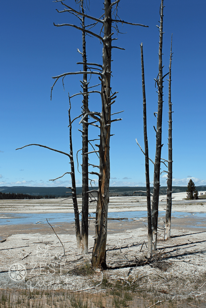 Yellowstone water affects pines